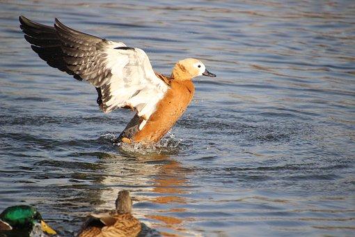 Ruddy Shelduck, Ducks, Pond, Birds, Waterfowls