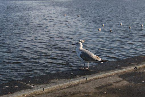 Seagull, Waterfront, Harbor, Seabird, Water Bird, Ave