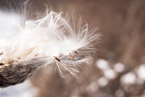 Seeds, Fluffy, Plant, Delicate, Dried, Dry, Soft, Flora