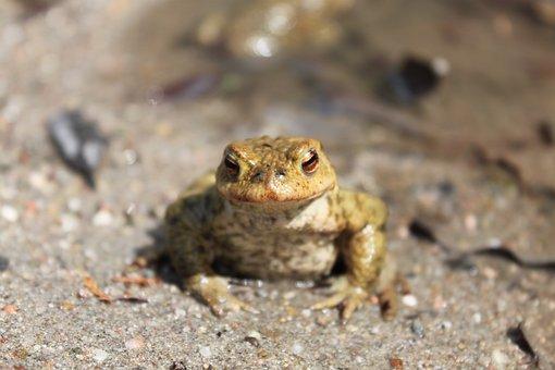 Frog, Toad, Pond, Amphibian, Animal
