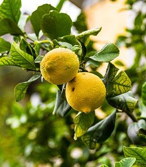 Fruits, Lemons, Lemon Tree, Tree, Yellow, Citrus Fruits