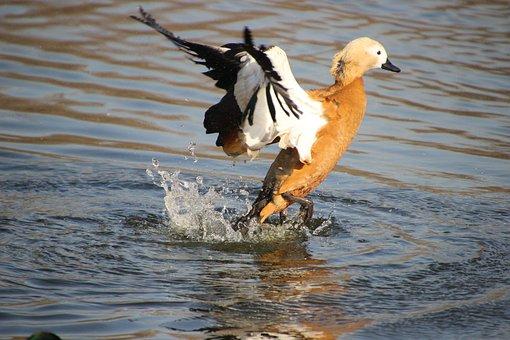 Ruddy Shelduck, Duck, Pond, Bird, Waterfowl, Water Bird