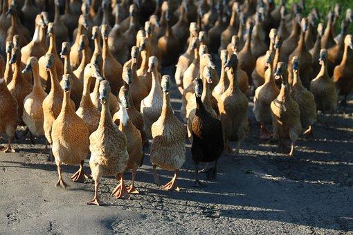 Ducks, Birds, Flock, Waddling, Group, Waterfowls