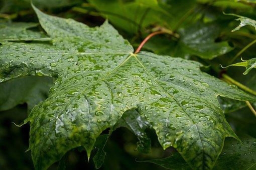 Leaves, Plant, Dew, Raindrops, Wet, Foliage, Greenery