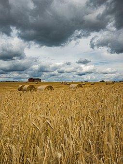Crops, Field, Rural, Farm, Agriculture, Wheat, Farming