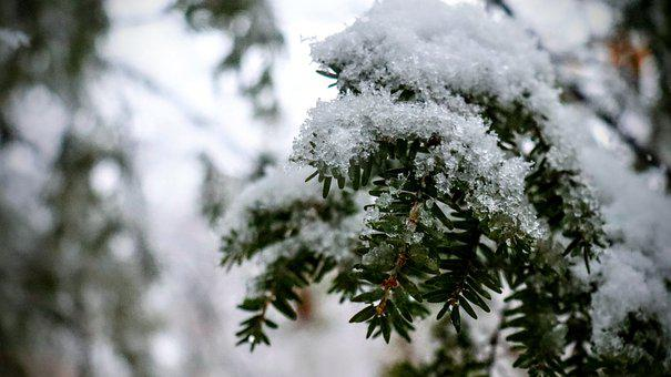 Pine, Snow, Winter, Nature, Cold, Tree, White, Forest
