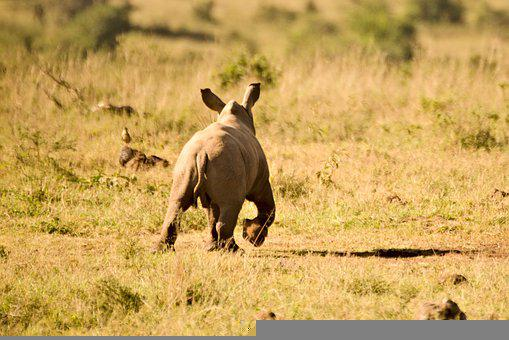Rhino, Calf, Animal, Wild, Wild Animal