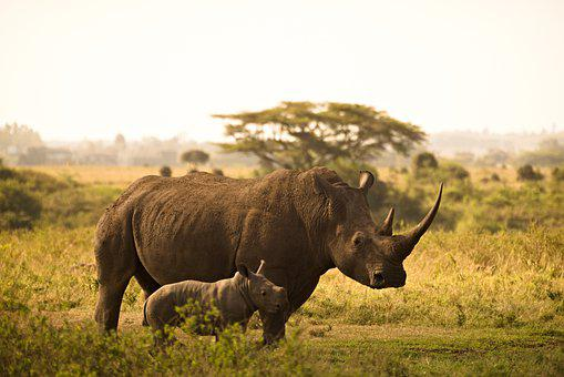 Rhino, Calf, Horns, Mother And Child, Animals, Wild