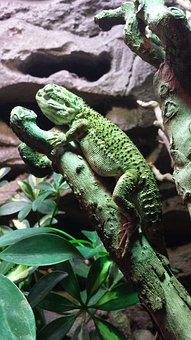Lizard, Animal, Reptile, Iguana, Zoo, Terrarium, Nature