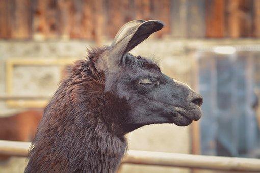 Llama, Animal, Head, Brown Llama, Llama Head, Mammal
