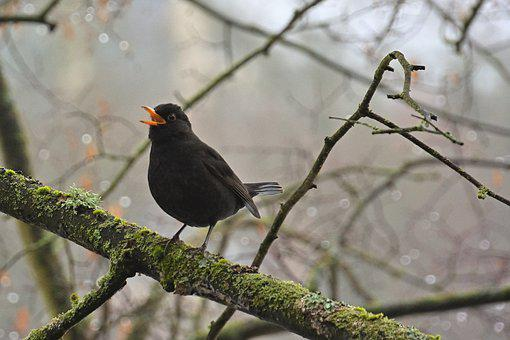 Blackbird, Bird, Branch, Perched, Singing, Animal
