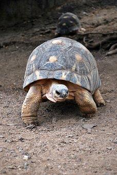 Turtle, Tortoise, Reptile, Animal, Walking, Zoo, Land