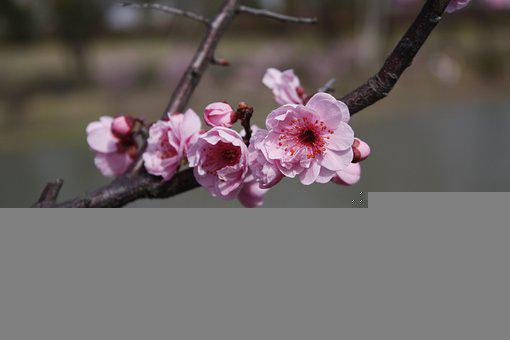 Plum Blossom, Flowers, Spring, Pink Flowers, Branch