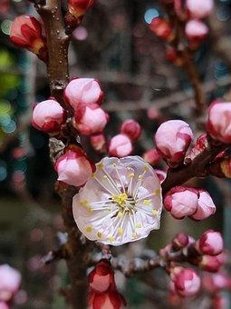 Plum Blossom, Buds, Flower, Branch, Bloom, Blossom
