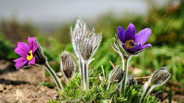 Pasqueflower, Flowers, Plants, Buds, Bloom, Blossom