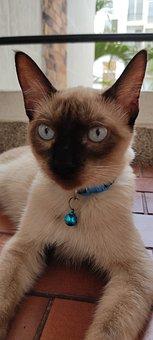 Cats, Siamés, Blue