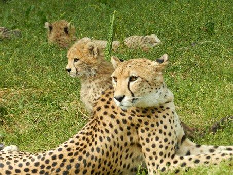 Animal, Cheetah, Zoo
