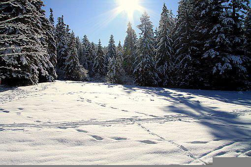 Winter, Snow, Trees, Pine, Conifers, Forest, Snowy