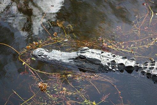 Alligator, Everglades, Cayman, Crocodile, Nature