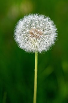 Dandelion, Seeds, Seed Head, Blowball, Fluffy