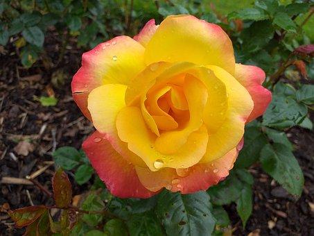 Rose, Flower, Yellow, Bloom, Wedding, Romantic, Romance