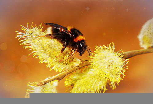 Bumblebee, Catkin, Willow, Bee, Insect, Animal, Flowers