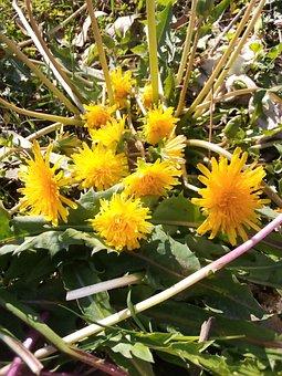Flowers, Dandelion, Weeds, Garden, Fluffy Seed Heads