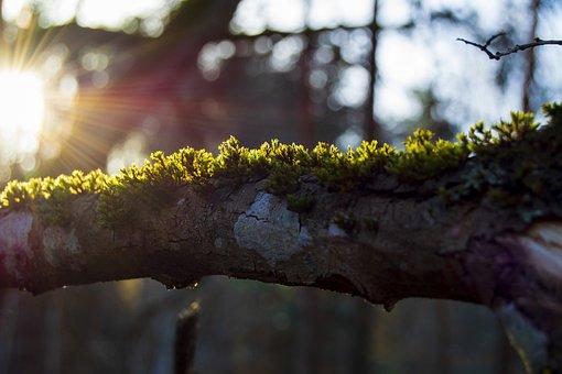 Forest, Branch, Moss, Morning, Spring, Sun, Sunrays