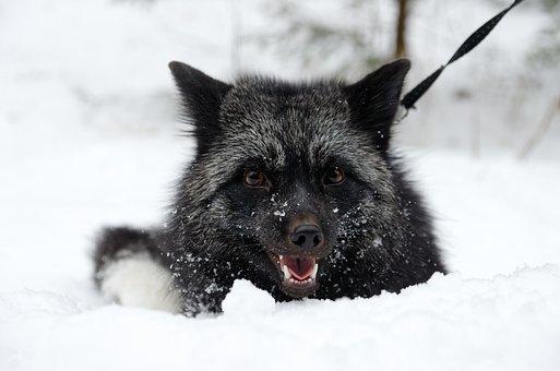 Fox, Silver Fox, Predator, Smile, Black Silver, Cute