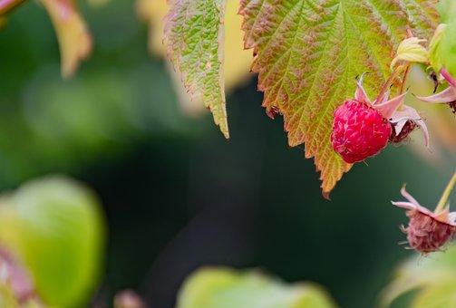 Raspberry, Berry, Fruit, Juicy, Plant, Nature, Garden