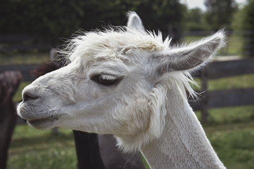 Alpaca, Animal, Head, Mammal, Livestock, Wool, Farm