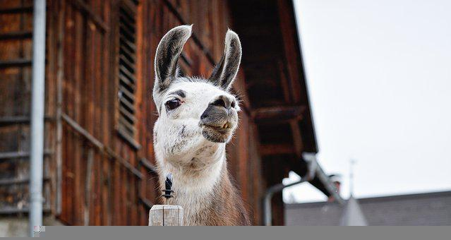 Llama, Animal, Head, Llama Head, Mammal, Livestock
