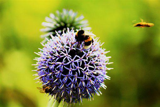 Bumblebee, Insect, Flower, Bee, Allium, Purple Flower