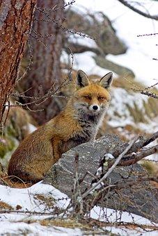 Red Fox, Carnivore, Mammal, Predator, Snow, Mountain