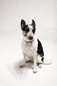 Dog, Rat Terrier, Mongrel, Mixed, Animal, Pet, Paw