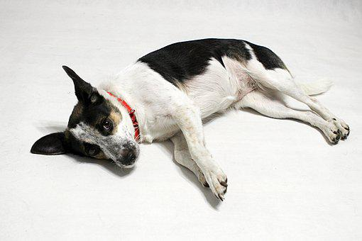 Dog, Canine, Rat Terrier, Mongrel, Mixed, Tired, Nap