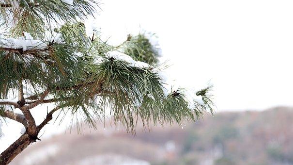 Pine Tree, Needles, Snow, Pine Needles, Winter