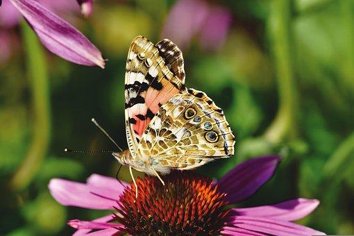 Butterfly, Peacock, Flower, Pollen, Pollinate