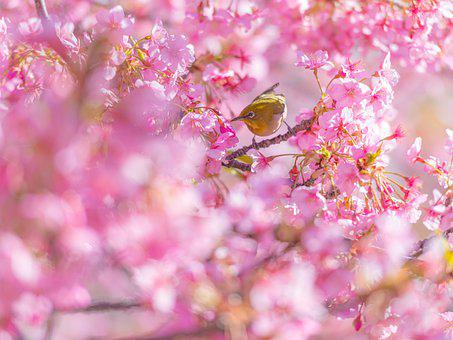 Cherry Blossom, Flowers, Bird, Branch, Perched, Animal