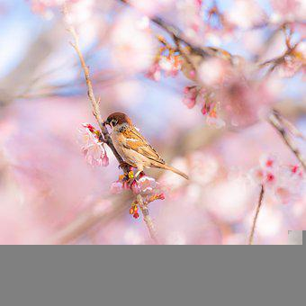 Cherry Blossom, Flowers, Bird, Sparrow, Branch, Perched