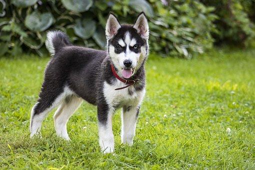 Dog, Puppy, Husky, Wolf, Fur, Pet, Animal