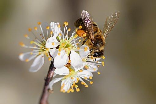 Honeybee, Insect, Flowers, Bee, Pollen, Nectar, Plant