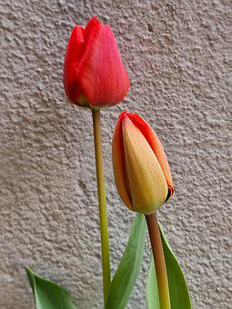 Tulips, Buds, Flowers, Plant, Wall, Spring, Red Tulips