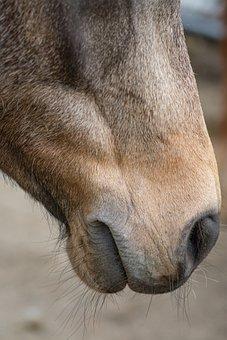 Horse, Pony, Equine, Equestrian, Nostrils, Horse Head