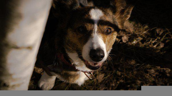 Corgi, Dog, Forest, Pet, Animal, Purebred, Doggy, Cute