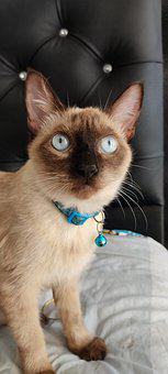 Cats, Siamés, Eyes