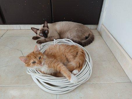 Cats, Siamés, Yellow