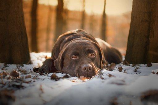 Dog, Canine, Labrador, Pet, Snow, Rest, Domestic