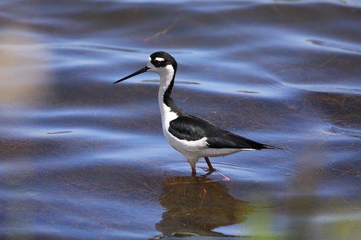 Black, Neck, Stilt, Bird, Wader, Ornithology, Wading