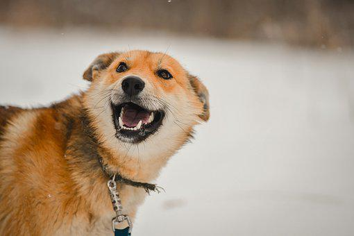 Dog, Pet, Winter, Red Dog, Young Dog, Domestic Dog